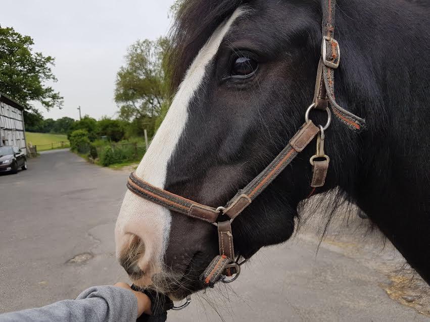 Pferd Wurzelspitenentzündung, Abszess, Zahnextraktion